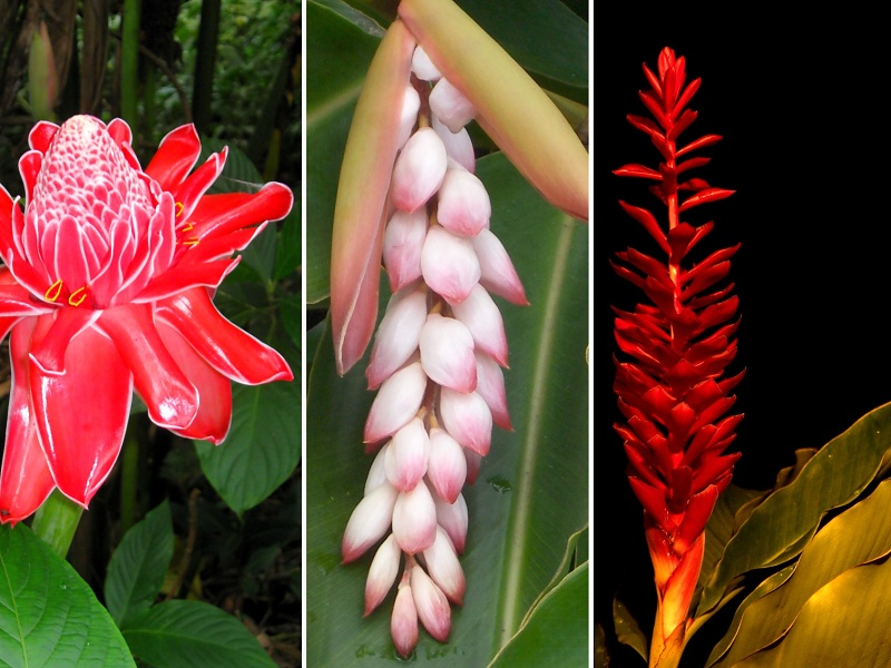 ginger-flower-ascension-island-1387457aa