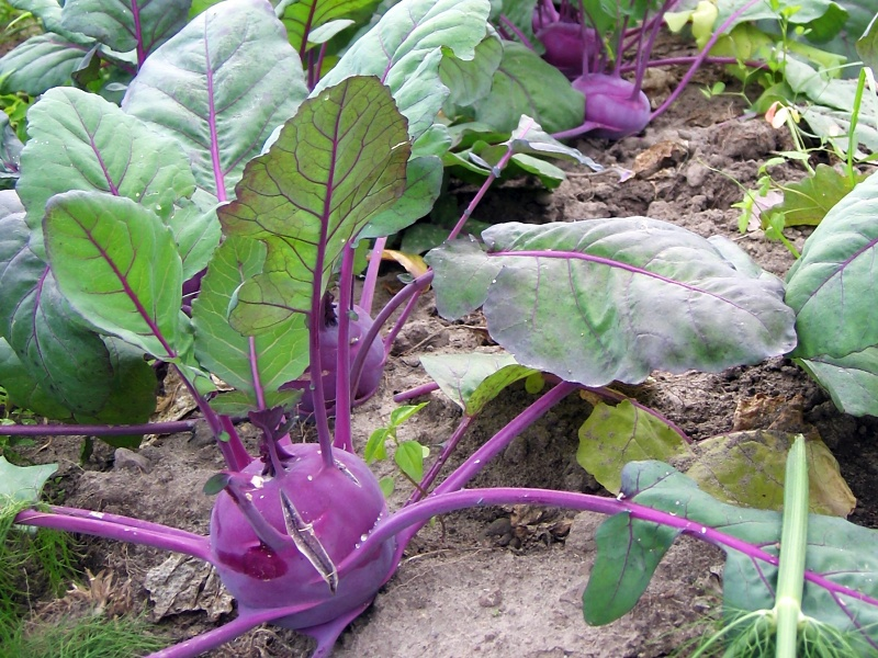 organic-vegetable-field-kohlrabi-german-turnip-1319366